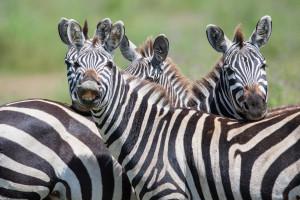 zebras at Ruaha Tanzania