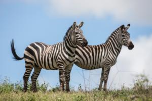 Zebras Tarangire - Tanzania