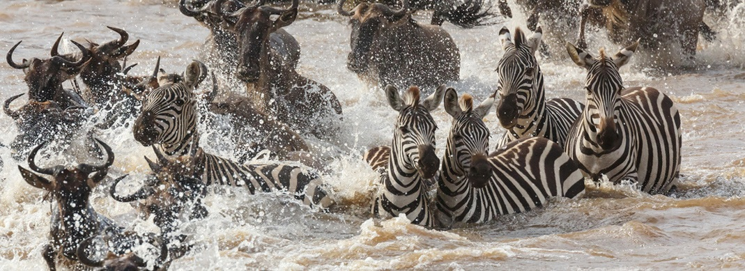 Zebras-river crossing- Mara triangle, Serengeti MIGRATION-Tanzania