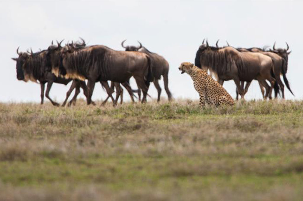 Cheetah and big herd, safari migration, Tanzania