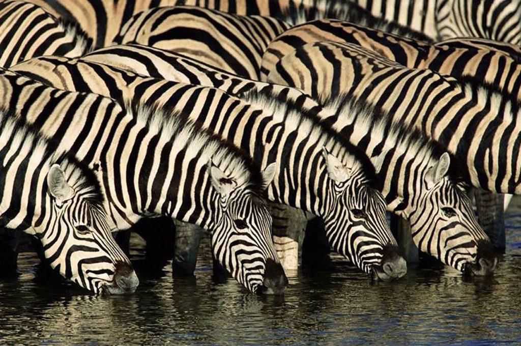 Serengeti N.P., zebras, Tanzania