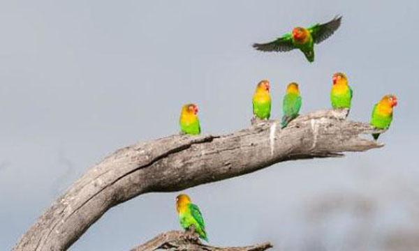 lovebirds, Tanzania