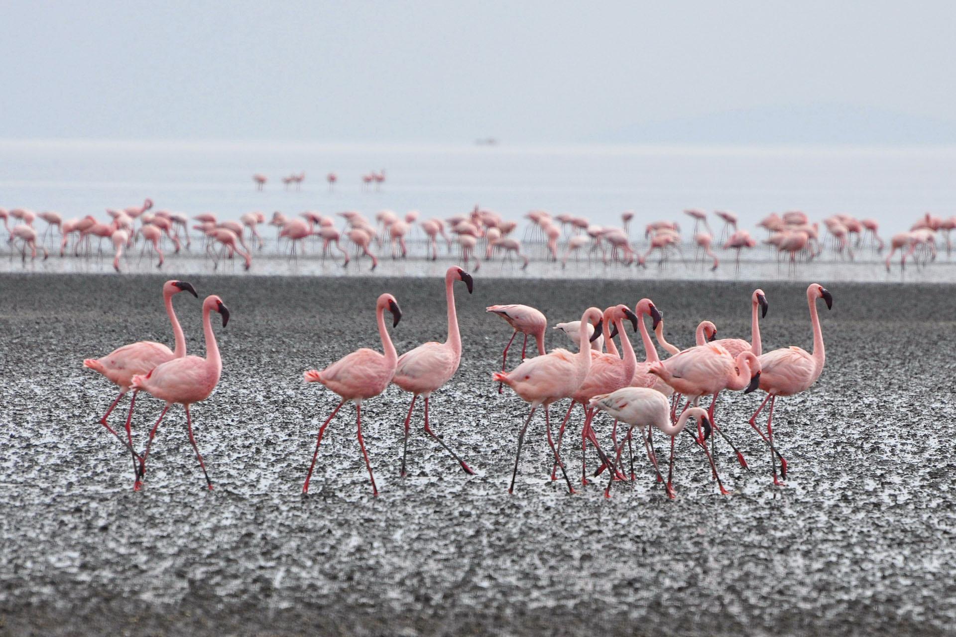Flamingos, Lake Natron tanzania