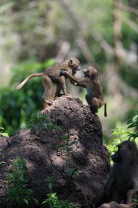 baboon Tanzania