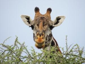 Giraffe, Tanzania, Tanzania safari