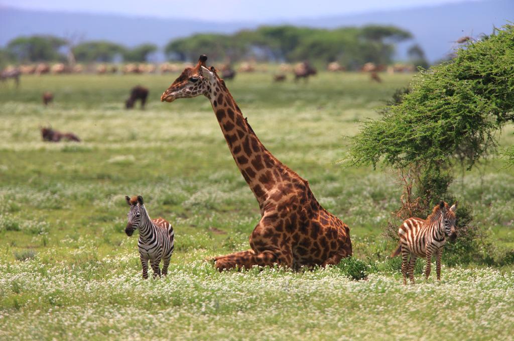 giraffe Serengeti Kogatende safari