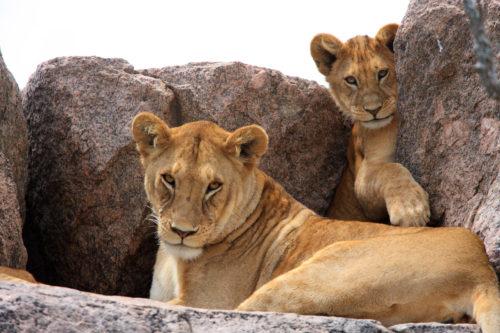 leoni nel Serengeti - safari in Tanzania