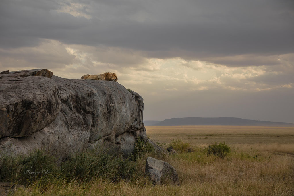 F1 - Simba <br> Tanzania safari fotografico con Francesca Bullet