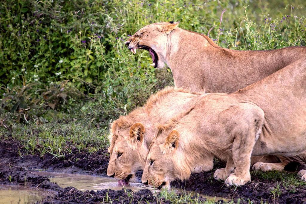roaring lion, Serengeti Tanzania