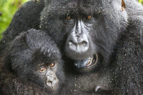 gorilla di montagna safari in Uganda