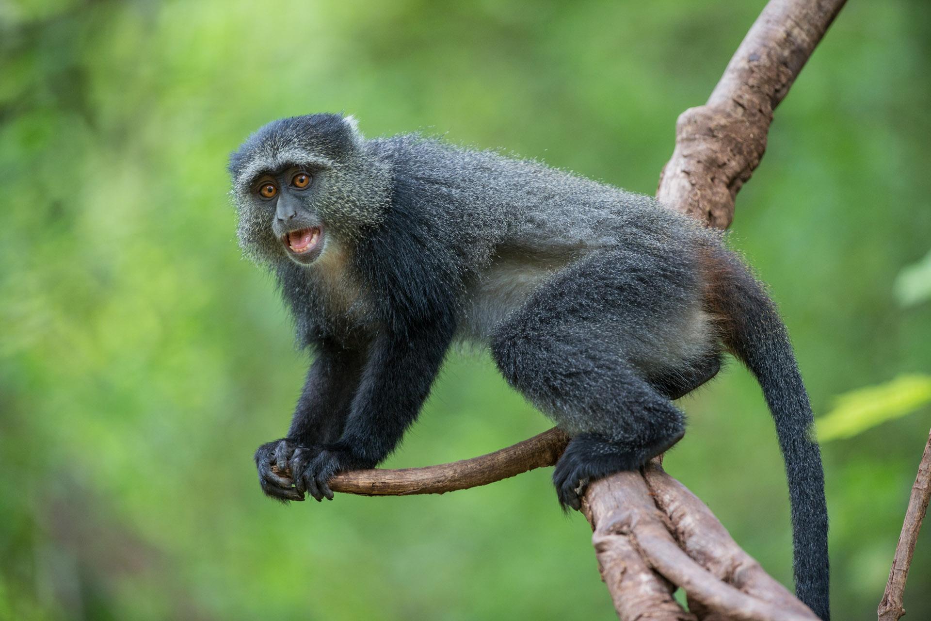 monkey Arusha national Park Tanzania