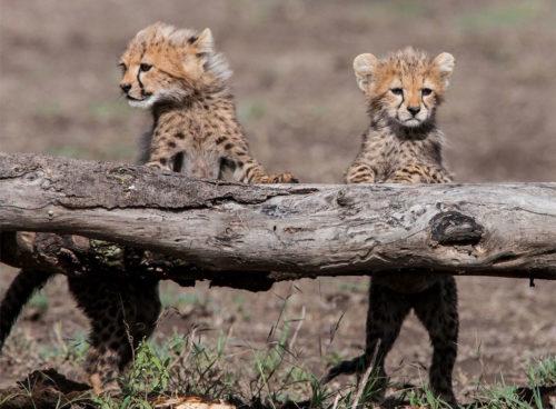 cheetah cubs, Safari Tanzania