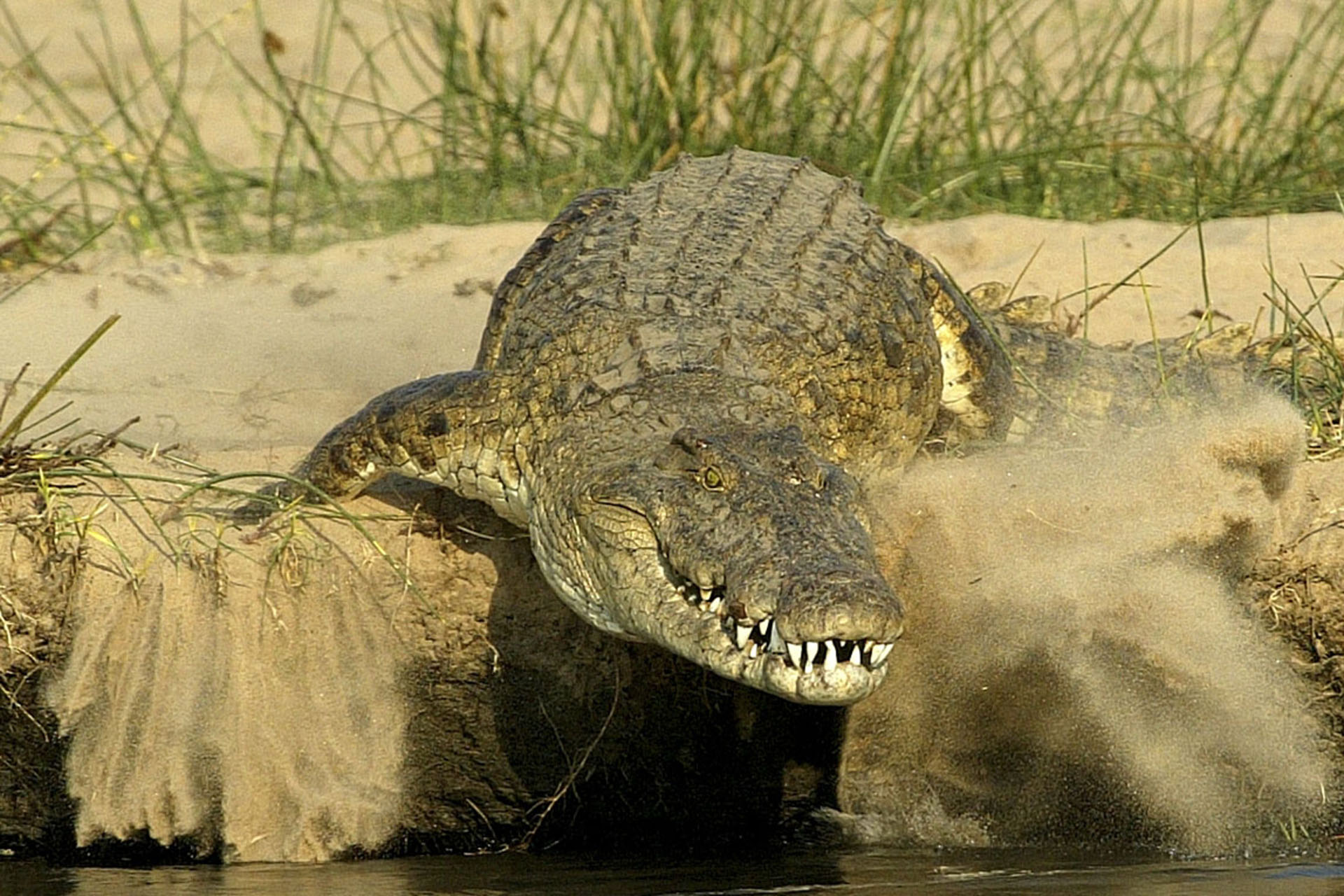 crocodile, Selous Game Reserve Tanzania, wildlife Tanzania