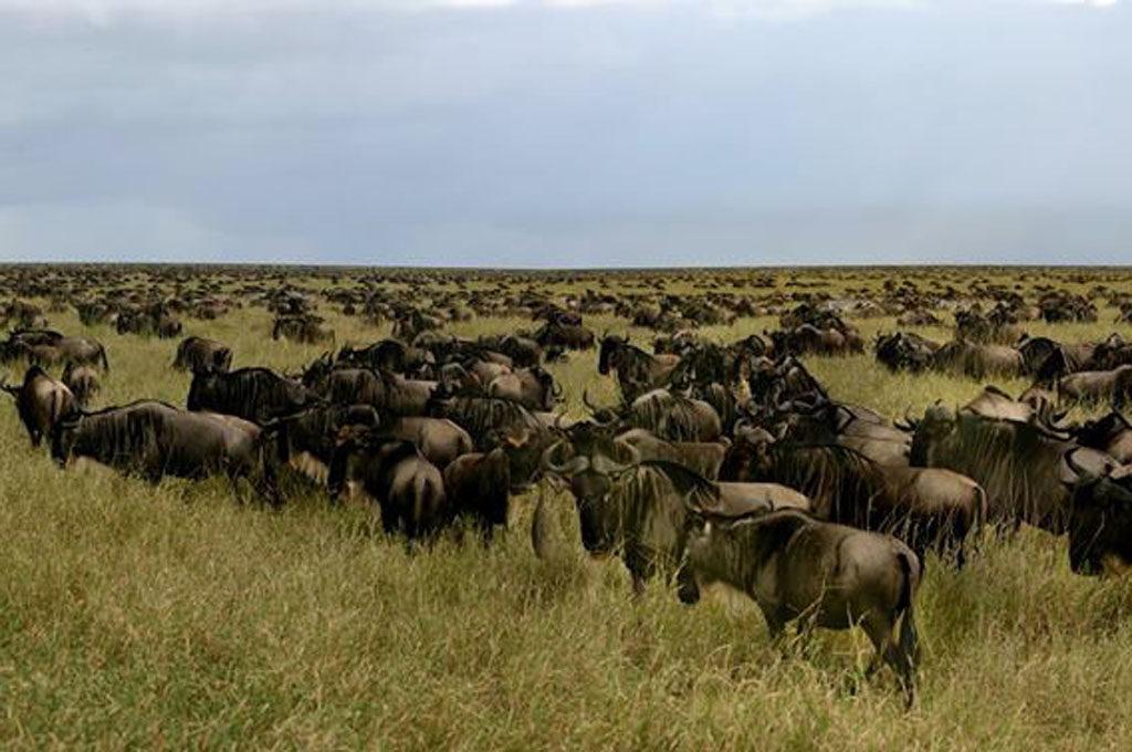 Wildebeest Serengeti migration, Ndutu Tanzania