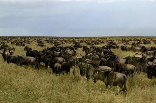 Wildebeest Serengeti migration, Tanzania