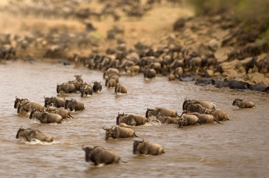 river crossing Serengeti Migration Tanzania