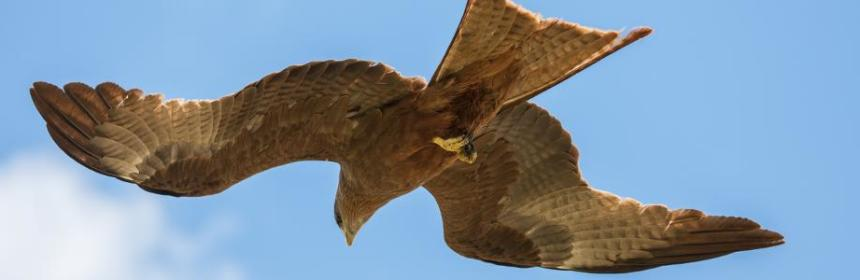 Black kite at Ngorongoro crater