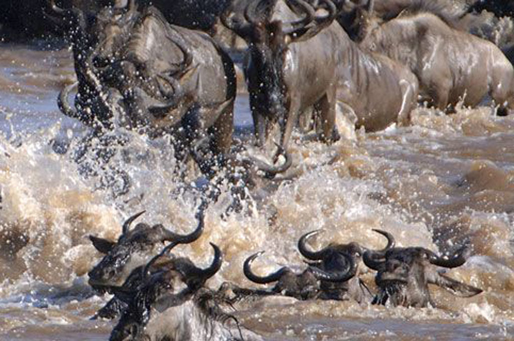 Wildebeest river crossing Serengetimigration safari Tanzania