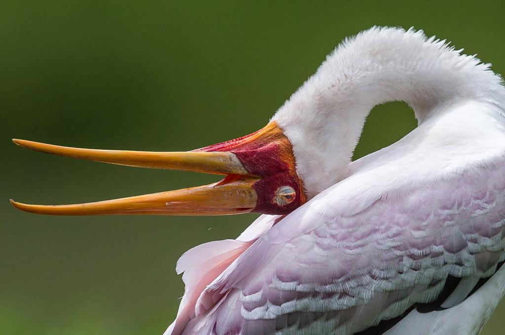 Pink Flamingo at Lake Manyara National Park - Tanzania