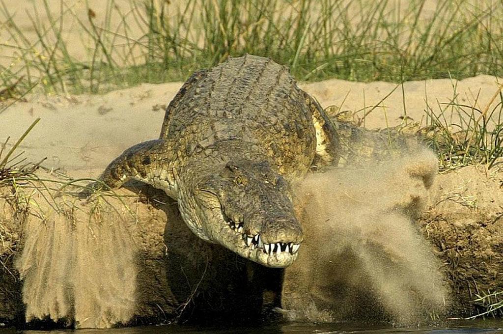 Mamba Crocodile at Selous, southern Tanzania