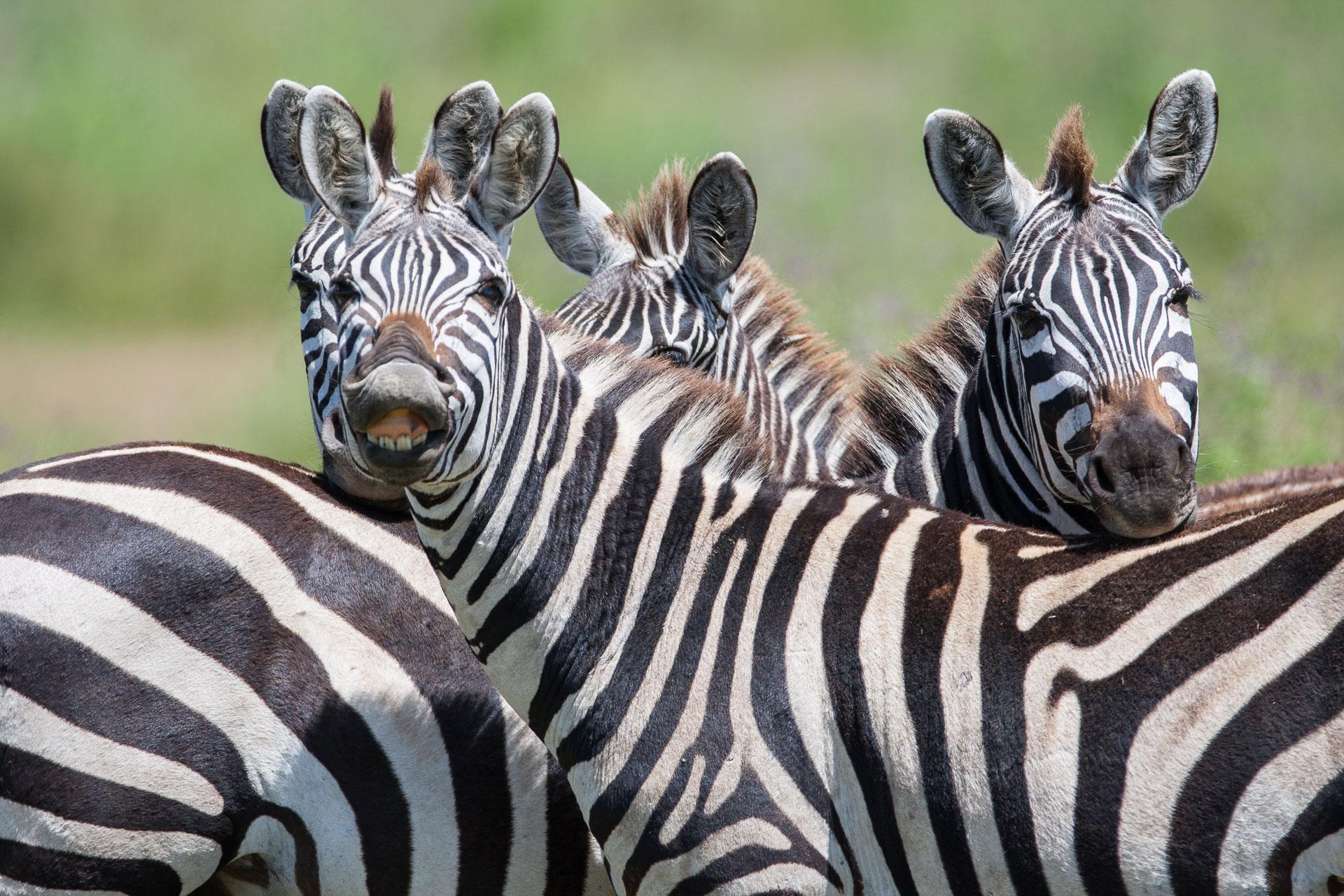 Herd of zebras at Ruaha National Park, Tanzania