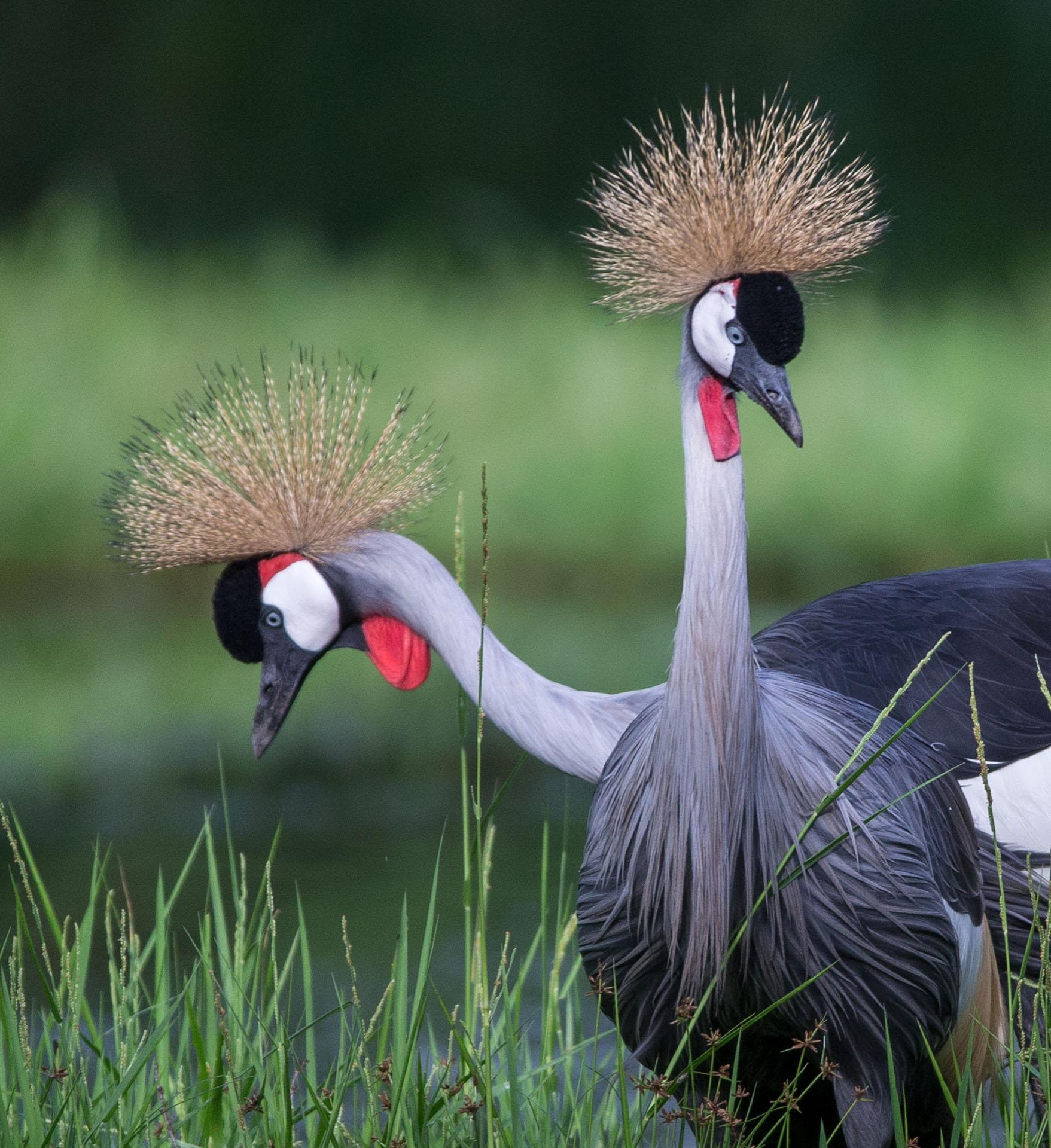 Gru testa coronata (Balearica regulorum) Parco Nazionale Ruaha, sud Tanzania