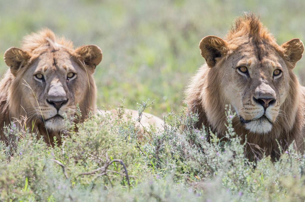 lions ambushed Serengeti, Tanzania