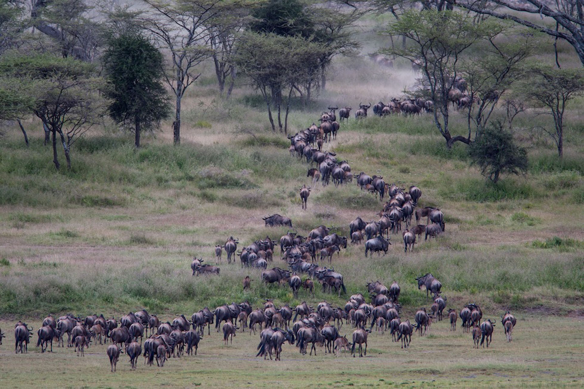Wildebeest migration, Great Serengeti Migration safari, Ndutu Tanzania