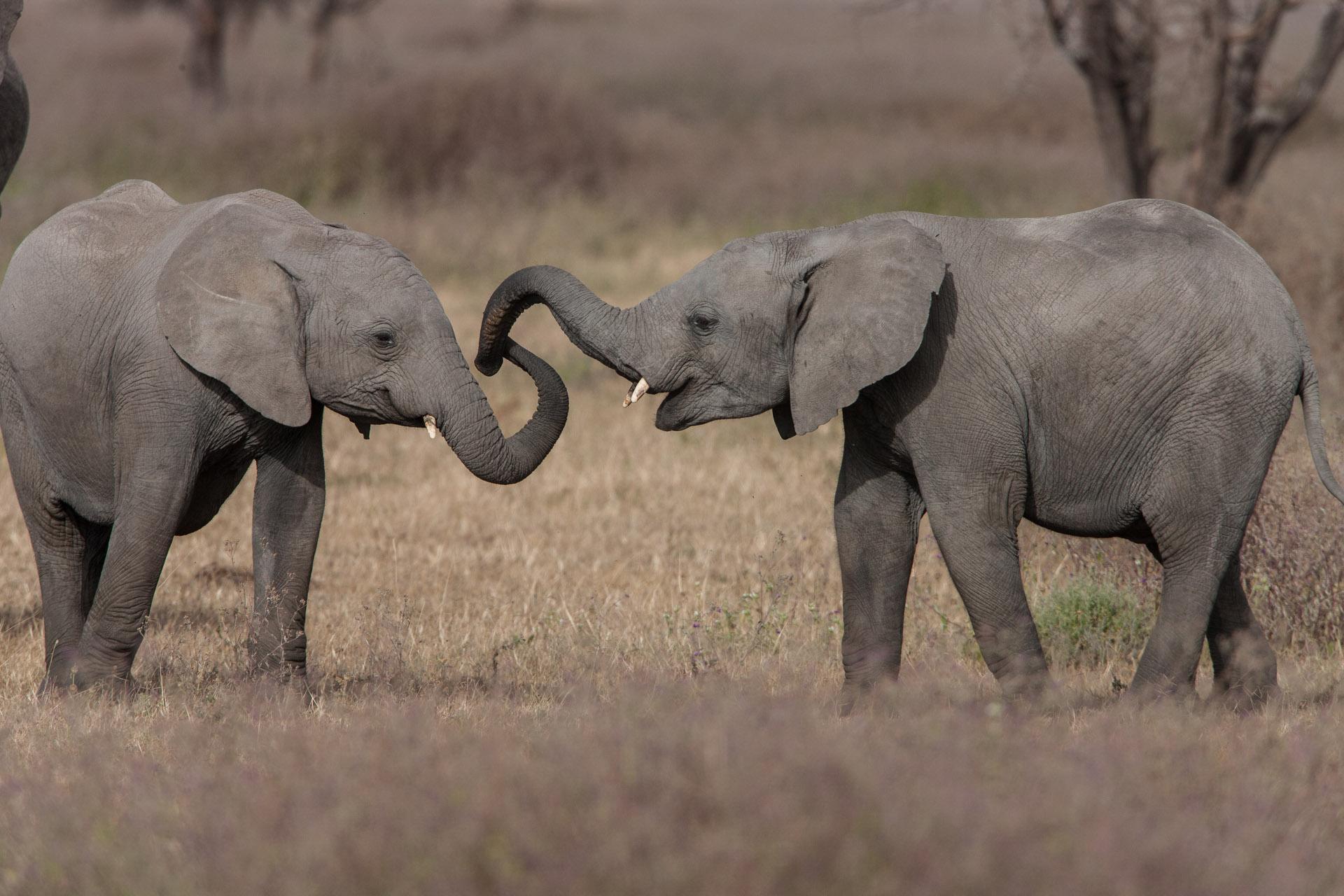 elephants Tarangire