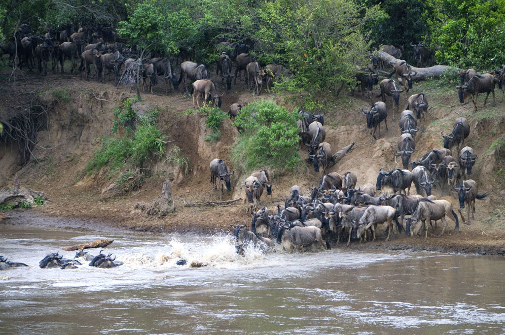 wildebeest Serengeti migration-river crossing